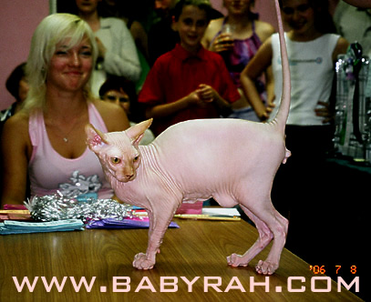 sphynx cat and kitten cattery Baby Rah
