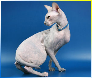 naked sphinks and peterbald cattery Baby Rah