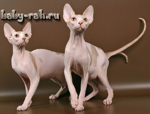 Sphynxes of Baby-Rah available for sale
