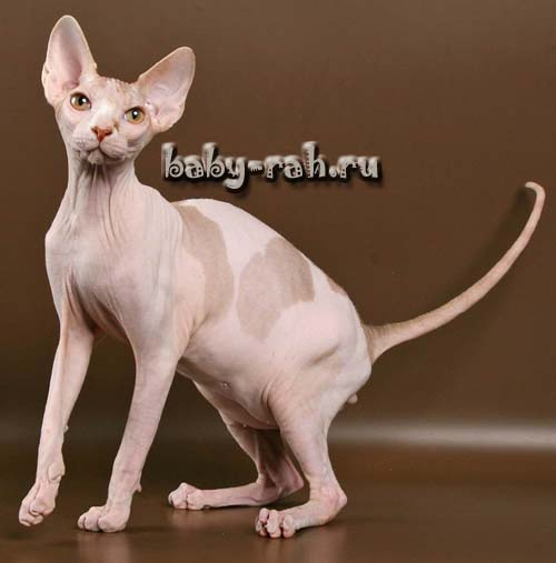 sphynx kittens of cattery Baby Rah available for sale